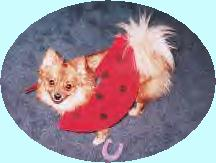 my orange creme pomeranian dog, wild irish rose