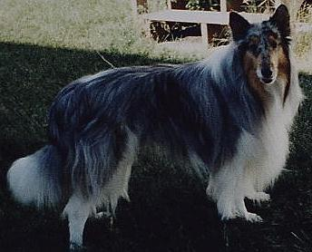 white-factored blue merle collies, Smokey