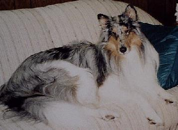 white-factored blue merle collie, Smokey